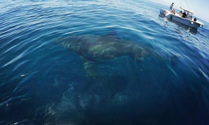 Deana the White Shark Palos Verdes California Photo: Keith Poe Facebook