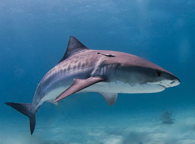 Tiger Shark in the Bahamas By Albert kok - CC BY-SA 3.0,