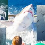 Great White Slams into Shark Cage