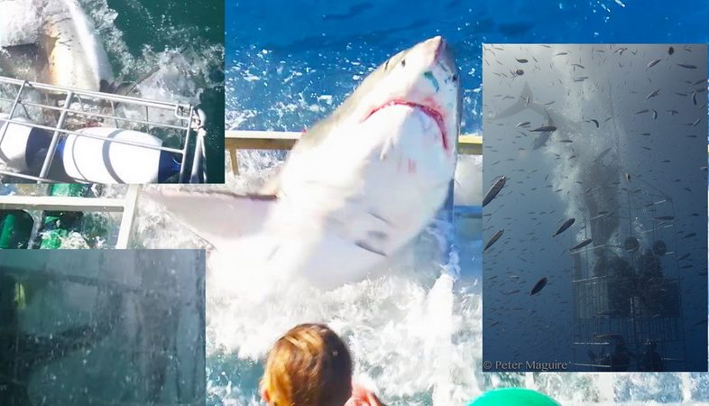 Great_white_sharks_stuck_cage_diving_
