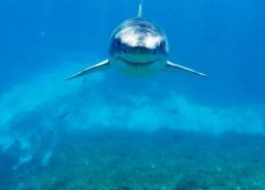 Great White Shark Bumps Spear fisherman