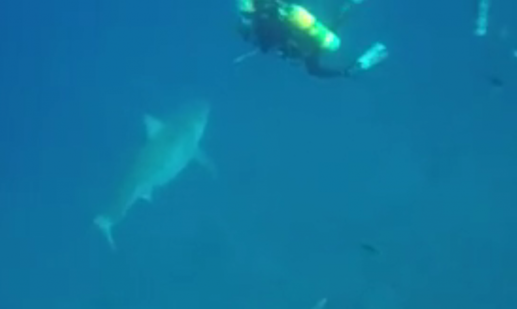 Corey Embree_great_white_shark_Florida_Juno_Beach