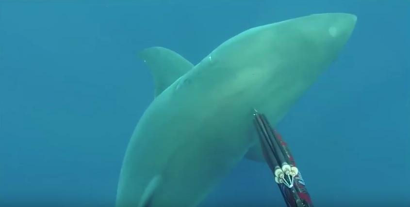 Great_white_shark_Spearfishing reviews