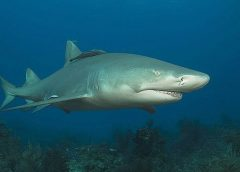 Lemon_shark_bite