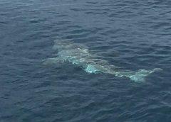 Orlando Princess & Canaveral Princess Deep Sea Fishing_great_white_shark