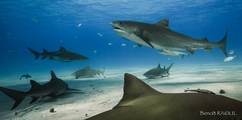 Benoit_Raoul_Christian Kemper_bahamas_Scuba diving on Tiger Beach, Bahamas Part 2_tiger_shark