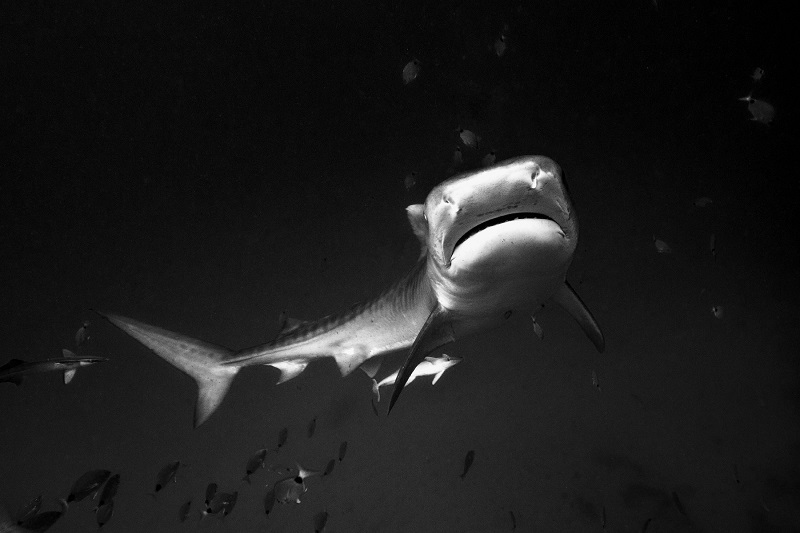Christian Kemper_bahamas_Scuba diving on Tiger Beach, Bahamas Part 2_tiger_shark