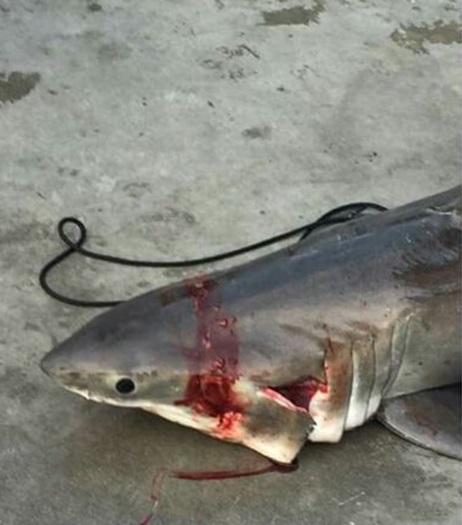 Christine_wheeler_great_white_shark