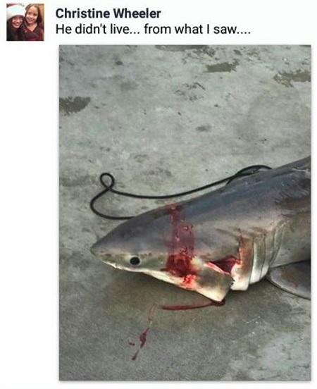 Christine_wheeler_great_white_shark_california