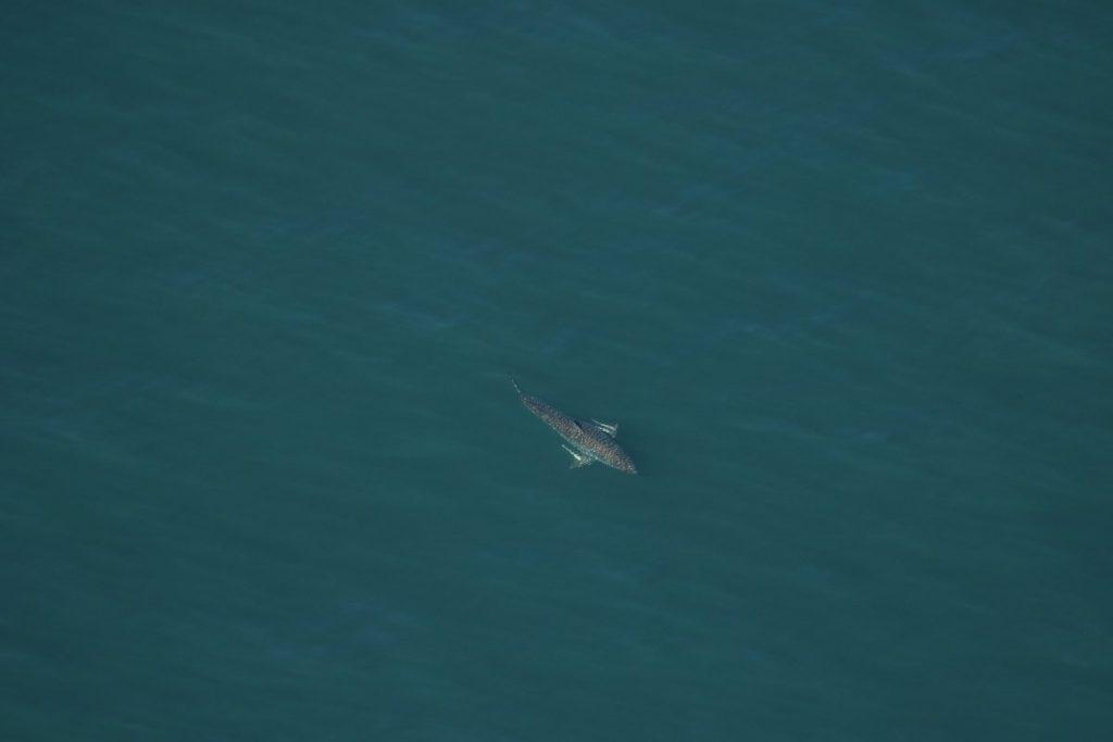 great white shark florida