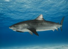 Benoit_Raoul__tiger_shark_tiger_beach