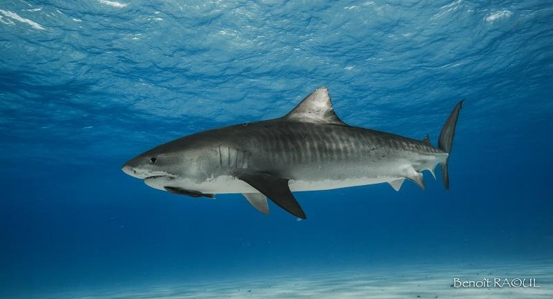 Benoit_Raoul__tiger_shark_tiger_beach