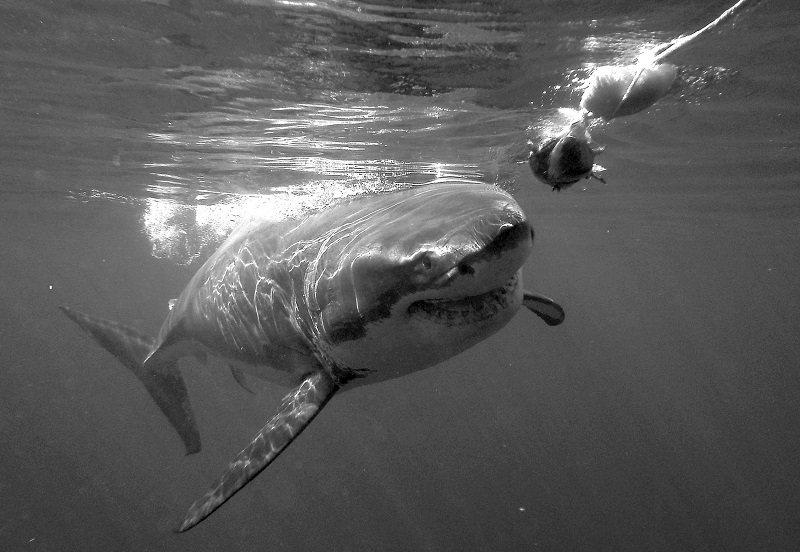 Christian Kemper _great-white-shark-cage-diving