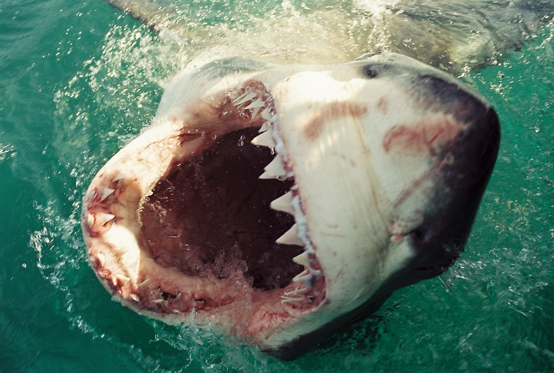 Christian Kemper _great-white-shark-cage-diving_3