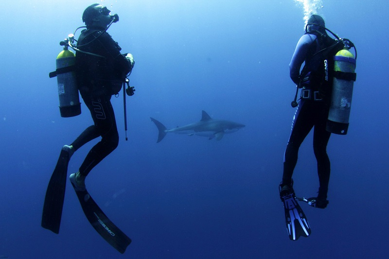 Divers outside of a shark cage with great white shark