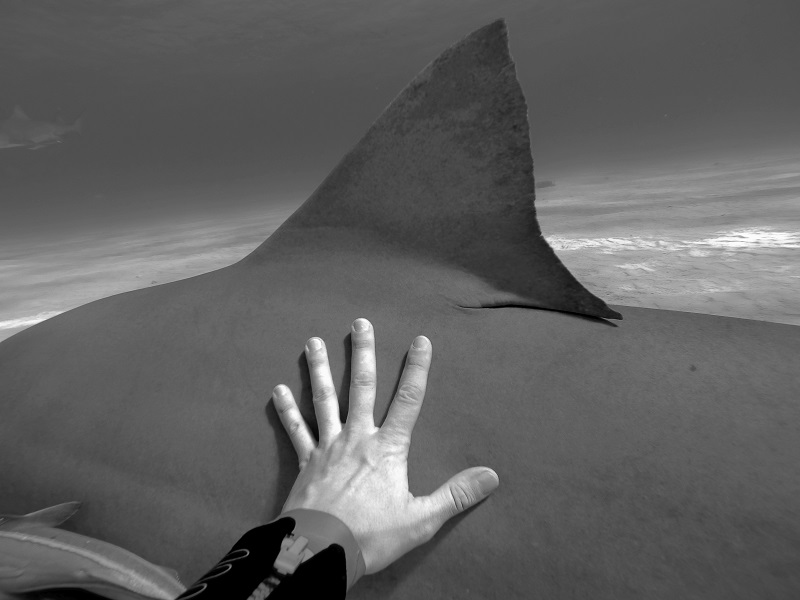 Christian_Kemper_tiger_shark_tiger_beach