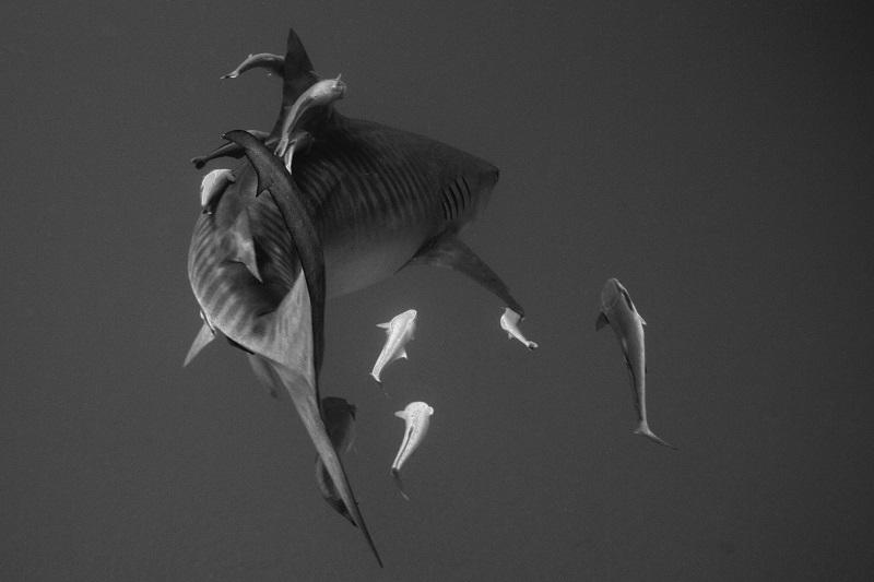 Daniel Flormann_tiger_shark_tiger_beach
