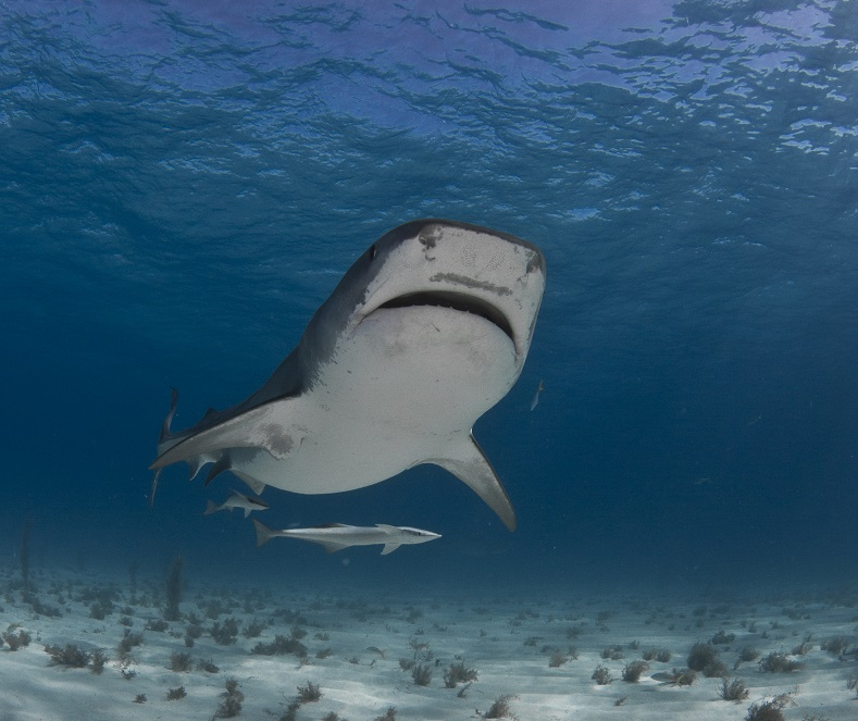 Debra Canabal_tiger_shark_tiger_beach