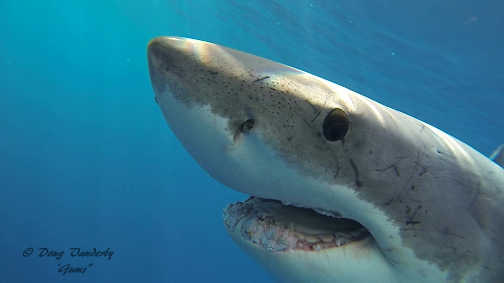 Sharks have numerous rows of teeth