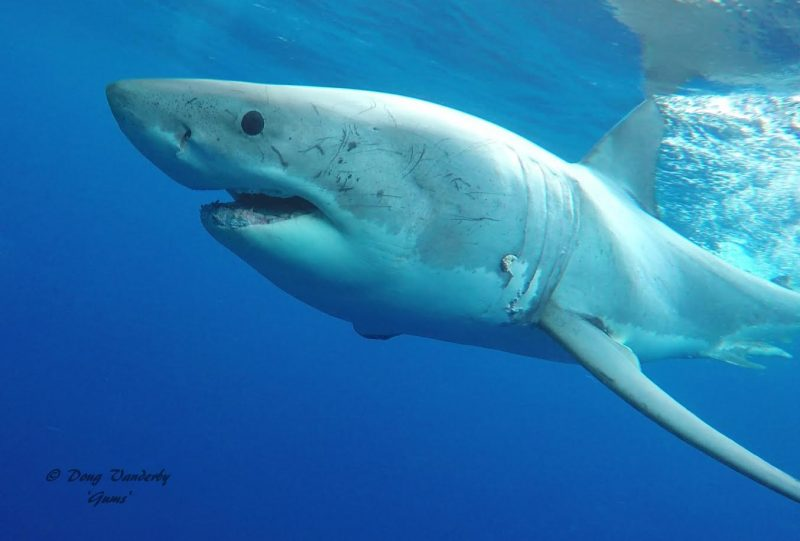 toothless Great White Shark