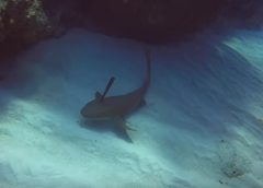 Matt Lamers_nurse_shark_stabbed_in_its_head_Cayman_Brac