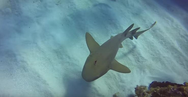 Matt Lamers_nurse_shark_stabbed_in_its_head_Cayman_Brac_3