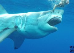c_Gums_the_toothless_great_white_shark_guadalupe_Doug_Vanderby_6