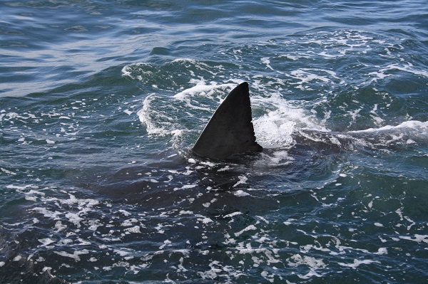 Christian_Kemper_why are we scared of sharks_dorsal_fin