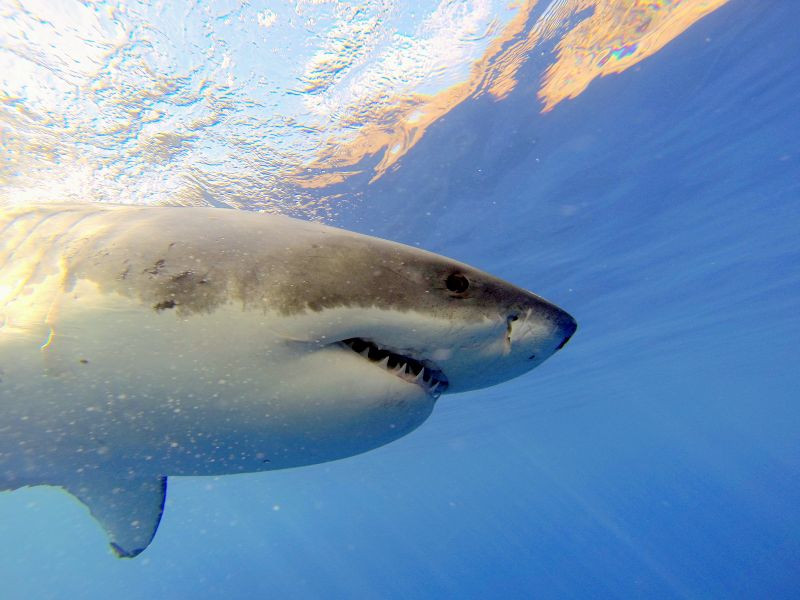 Great_white_shark_cage_dive