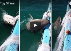 Great_white_shark_fishing_net_tug_of_war