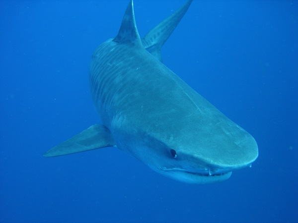 Michael Supp_tiger_shark