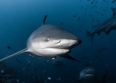 Tom Vierus_Bull Sharks