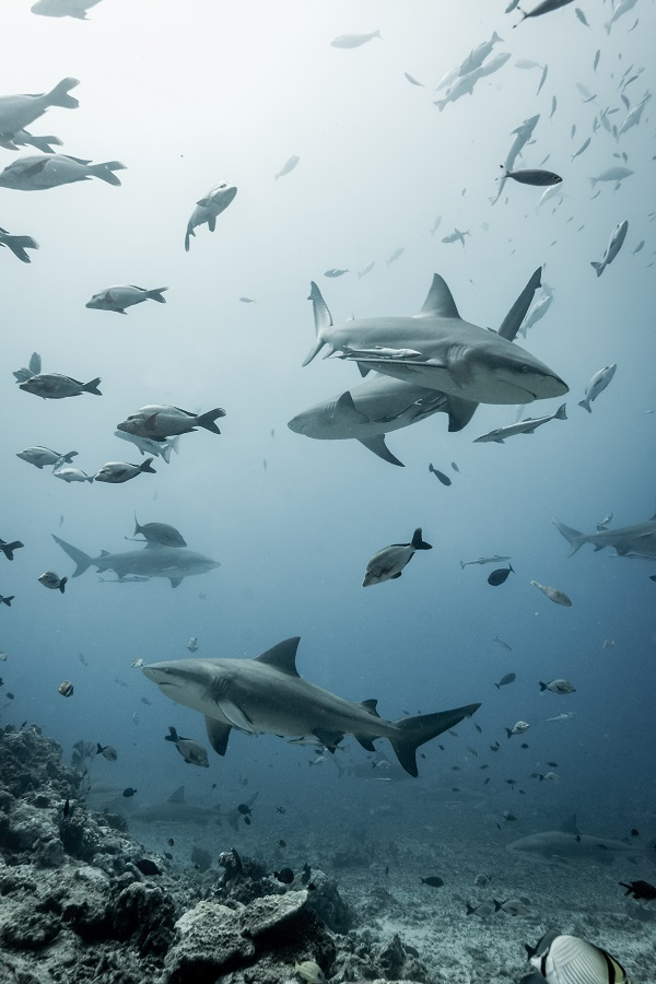 Tom Vierus_Bull Sharks_La Reunion