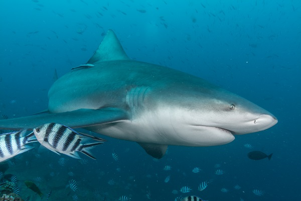 Tom Vierus_Bull Sharks