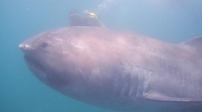 Video_rare_Megamouth_shark_Hiroyuki Arakawa_Facebook