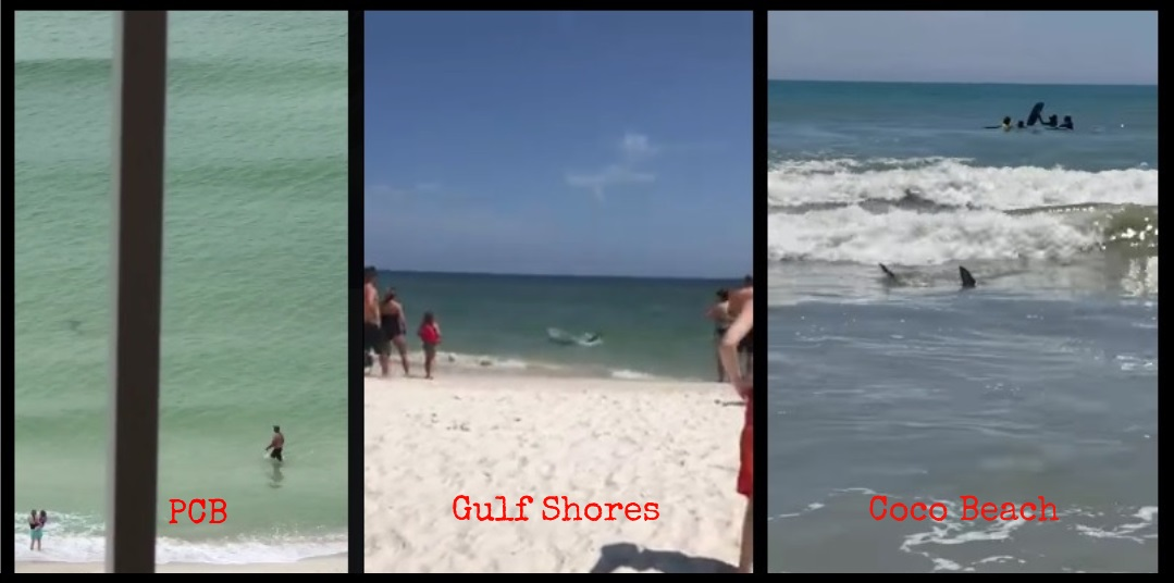 sharks filmed off beaches in panama city  coco beach and