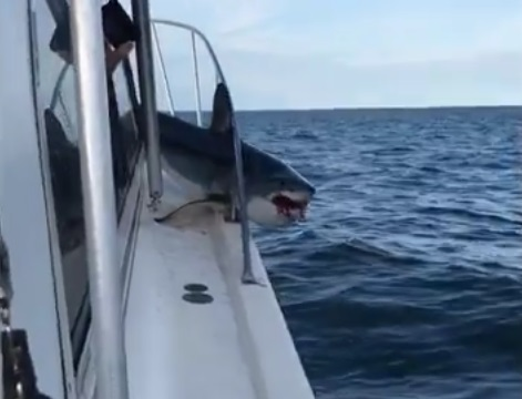mako shark stuck on boat