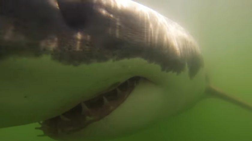 great white shark New Brighton State Beach