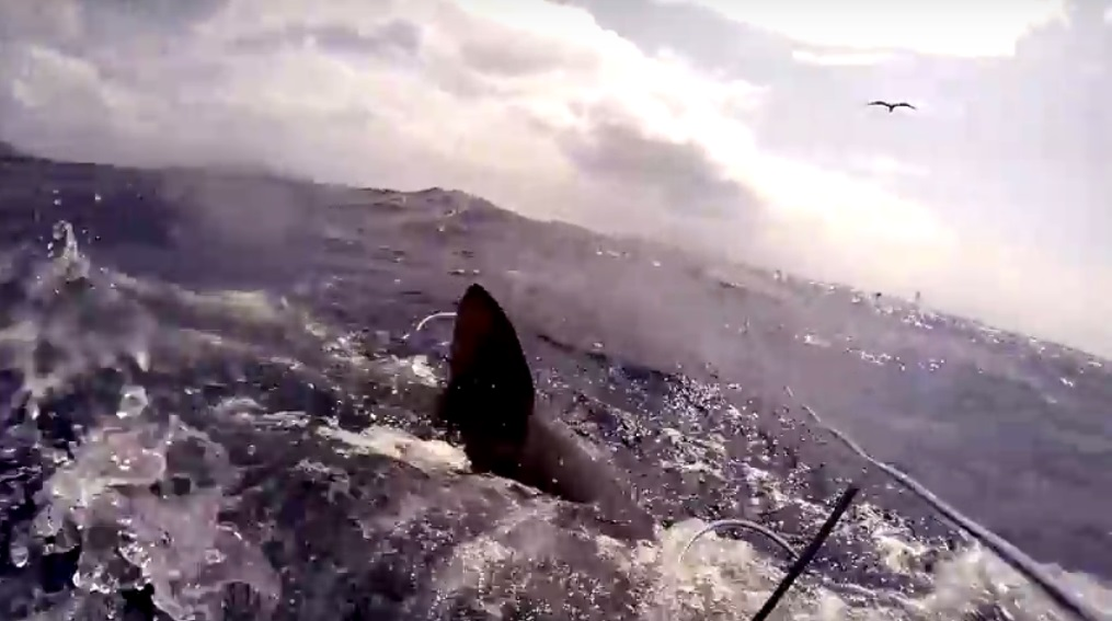 shark_attack_bite_Ascension_Island_Spearfishing_no_Injury