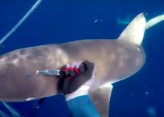 shark_attack_bite_Ascension_Island_Spearfishing_no_Injury