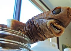 Rare Cookiecutter Shark Bite in Hawaii