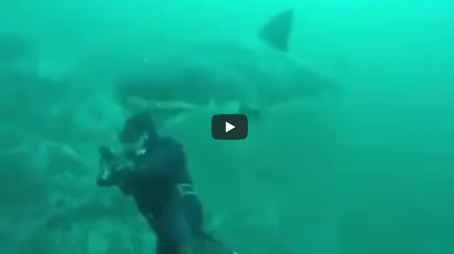 Video Great White Shark Surprises Diver Is It Real Tracking - Man fights great white shark sydney harbour jumping cliff
