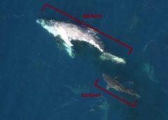 Sharks clean up dead whale off Georgia Florida coast