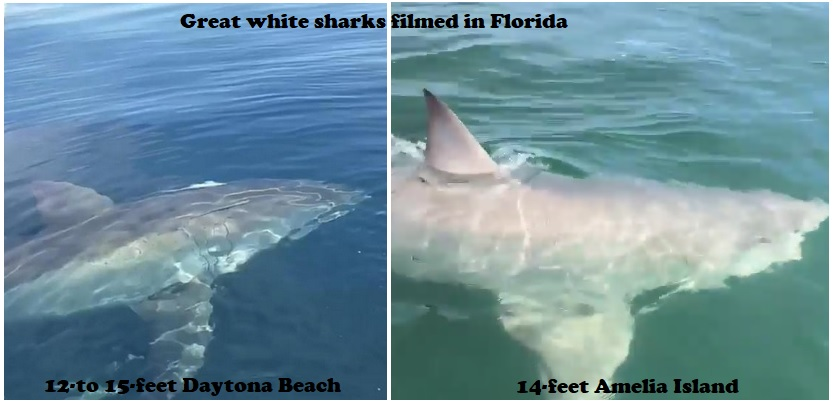 Great White Shark Sighted Off Florida Coast