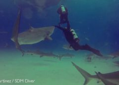 Diver Hit by 9-foot Shark; 12-foot Tiger Shark Nearly Takes a Nibble
