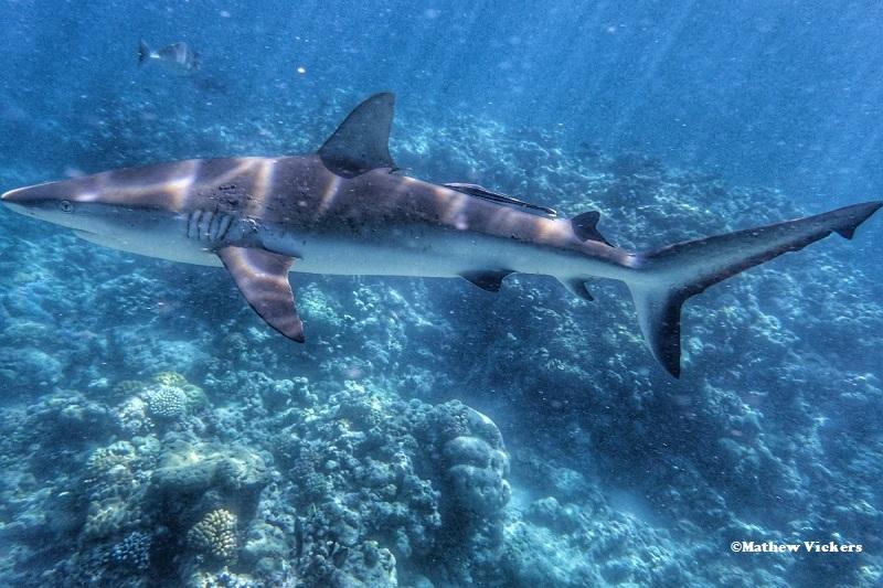 Great Barrier reef shark attack