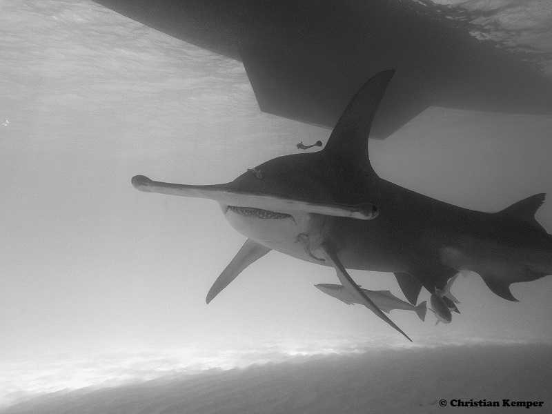 Christian_Kemper_Seaching for great hammerheads bimini_2