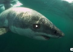 Great White shark video Boston MA