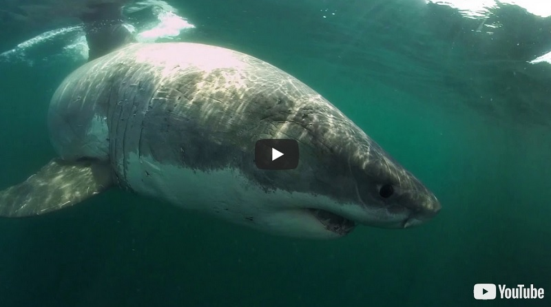 Great White shark video Boston MA