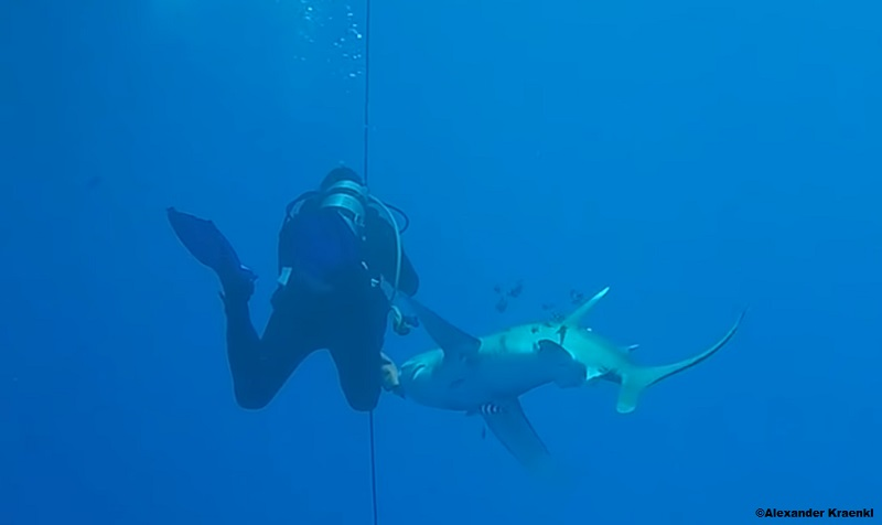 Video still of a scuba diver bitten by a shark in Egypt